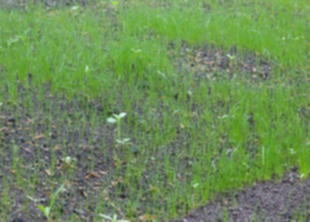 Проблемы молодого газона