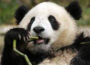 Агрессивные панды угрожают населению США