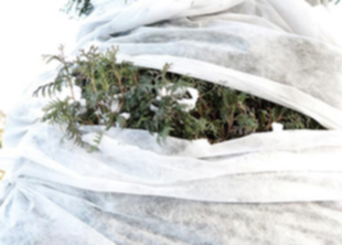 Как подготовить хвойные растения к зиме?