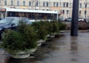 Петербург украшают живыми елями
