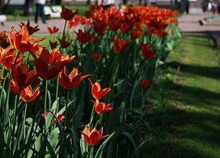 10 тыс. деревьев и 1,6 млн. тюльпанов было посажено в Петербурге осенью