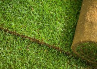 Запасной газон для стадиона на Крестовском выращивают в Гатчине
