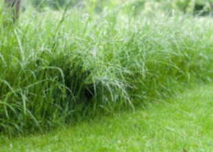 Злаковые газонные травы