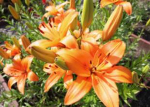В Ботаническом саду зацвели лилии